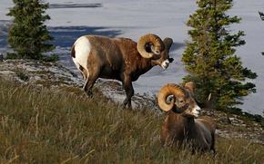 Картинка природа, Канада, рога, баран, толсторог