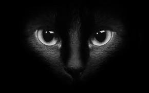 Обои чёрно - белое фото, чёрный фон, глаза, чёрный кот, кот, кошка