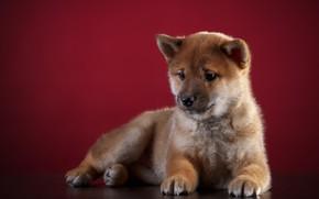 Картинка Собака, Щенок, Фон, Животное