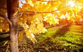 Обои клен, дерево, лучи, осень, листья