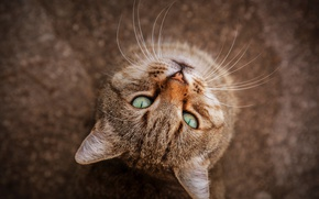 Обои кошка, кот, взгляд, мордочка