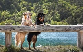 Картинка Австралийская Овчарка, Собаки, Взгляд, Забор, Двое, Животные