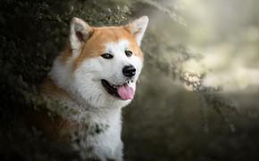 Обои язык, взгляд, морда, портрет, собака, боке, Акита ину