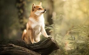 Обои лес, собака, коряга, боке, Сиба-ину