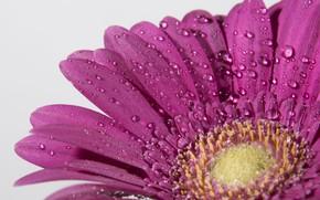Картинка макро, цветы, капли воды, гербера