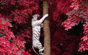 Картинка деревья, ветки, тигр, листва, хищник, ствол, белый тигр, залез, на дерево
