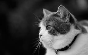 Обои кошка, взгляд, портрет, мордочка, чёрно-белая, профиль, ошейник, монохром, котейка