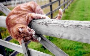Картинка кошка, забор, рыжая