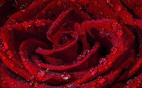 Картинка капли, роза, красная