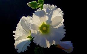 Картинка цветок, макро, фон, лепестки, Quisqueya