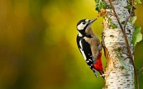 Картинка дерево, птица, ветка, дятел, берёза, боке, санитар леса