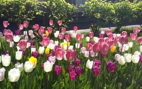 Картинка зелень, листья, цветы, весна, лепестки, май, тюльпаны, клумба, солнечный день, свет и тень, прозрачность лепестков