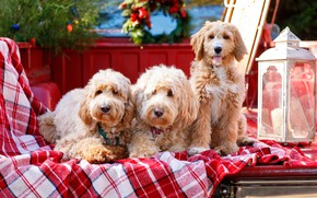 Картинка Голдендудль, троица, собаки, трио, фонарь, плед