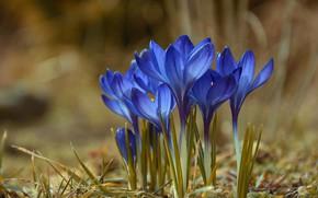 Обои цветение, весна, Цветы, Крокусы
