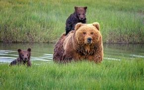 Обои медведица, медведи, трава, Аляска, детеныши