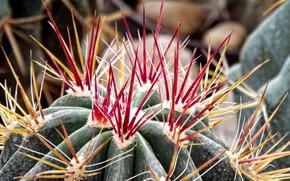Картинка макро, фон, растение, кактус, колючки, шипы, красные иголки