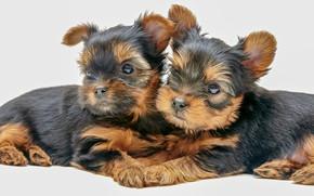 Картинка щенки, парочка, Йоркширский терьер, пёсики, малыши, белый фон