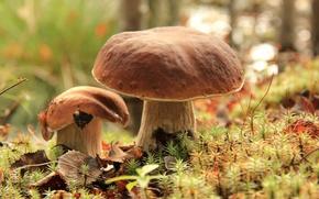 Картинка грибы, мох, боровик