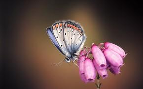 Картинка бабочка, арт, цветочек, monteillard damien, Silver-studded Blue Butterfly