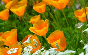 Картинка Природа, Весна, Nature, Spring, Желтые цветы, Ясколка, Yellow flowers, Эшшольция, Калифорнийский мак