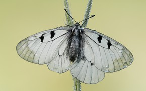 Картинка капли, макро, бабочки, крупный план, насекомые, природа, фон, бабочка, светлый, насекомое, белая, крылышки, стебелек