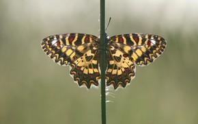 Картинка макро, бабочки, насекомые, природа, зеленый, фон, бабочка, стебель, насекомое, крылышки, симметрия, пестрая