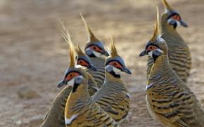 Обои Geophaps plumifera, птица, Австралия, перья, Purnululu National Park
