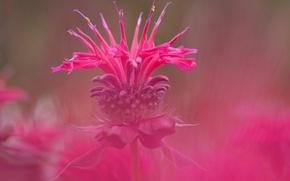 Картинка цветок, природа, сорняк