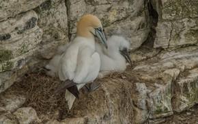 Обои гнездо, северная олуша, скалы, птицы