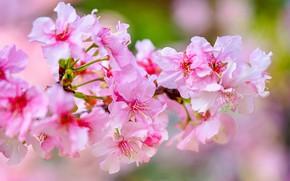 Картинка макро, вишня, ветка, весна, цветение, цветки
