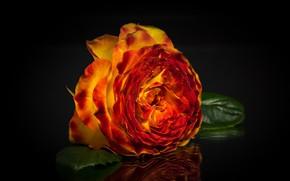 Обои фон, Роза, цветок