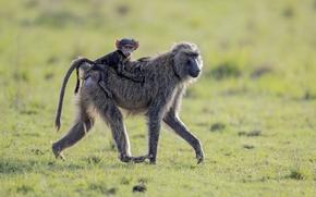 Картинка обезьяны, Африка, прогулка