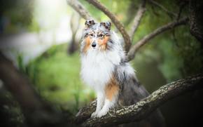 Картинка ветки, собака, боке, Шелти, Шетландская овчарка
