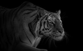 Обои хищник, крадется, красавец, тигр