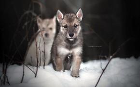 Картинка зима, собаки, природа, щенки