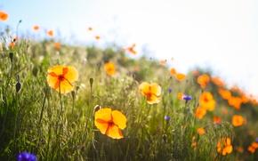 Картинка grass, field, flowers, spring, poppies, sunny, buds