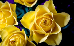 Картинка макро, желтый, розы