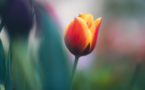 Картинка цветок, природа, тюльпан
