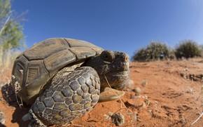 Картинка природа, фон, Mojave Desert Tortoise