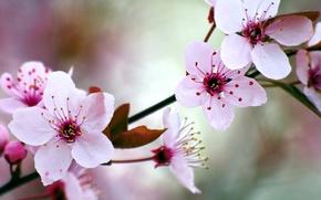 Обои сад, весна, цветение, вишня
