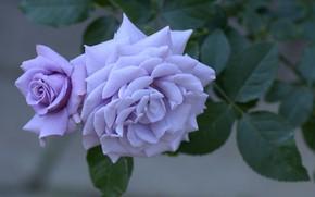 Картинка бутон, макро, лепестки, куст, цветок, роза