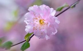 Обои цветок, вишня, весна, лепестки, сад, сакура