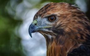 Картинка глаза, птица, орел, клюв