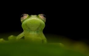 Картинка природа, фон, Santa cecilia cochran frog, Teratohyla midas