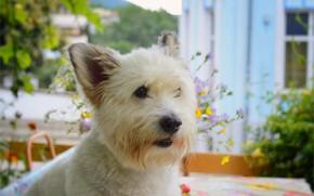 Картинка Собачка, Dog, Вест-хайленд-уайт-терьер