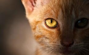 Картинка кошка, глаза, кот, взгляд, морда, свет, крупный план, глаз, котенок, фон, портрет, рыжий, котёнок, светится, ...