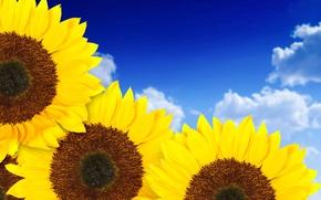 Картинка небо, природа, подсолнух, лепестки