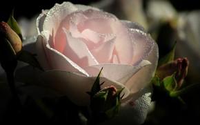 Картинка роза, лепестки, роса
