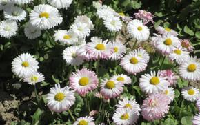 Картинка цветы, маргаритки, апрель, весна 2018, Mamala ©