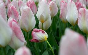 Картинка капли, тюльпаны, бутоны